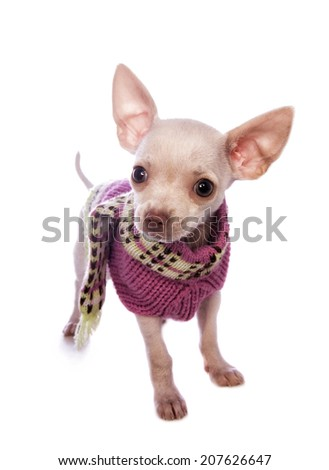 Cute cream color shorthaired Chihuahua puppy wearing pink sweater isolated on white background