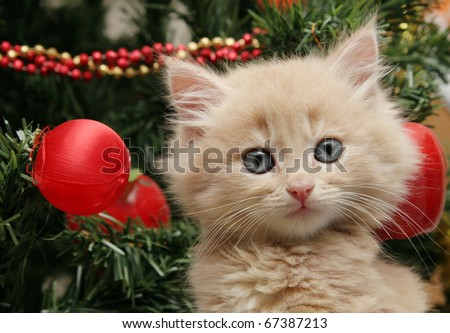 Cute cream fluffy kitten investigating the decorations on a Christmas tree