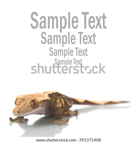 Cute Crested  gecko shot on white with copyspace and sample text