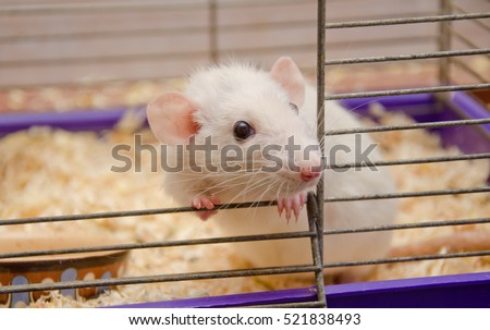 Cute curious white rat looking out of a cage (selective focus on the rat eyes)