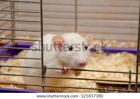 Cute curious white rat looking out of a cage (selective focus on the rat eyes and nose)