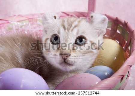 Cute curl ear kitten with blue eyes in Easter basket close up with pink background