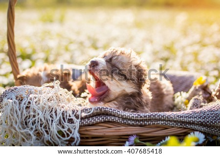 Cute curly puppies in basket outside - stock photo