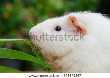 Cute cute guinea pig white color, want to eat grass.