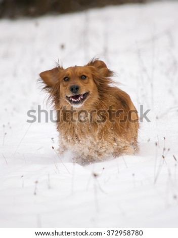 Cute Dachshund dog running in the white snow.