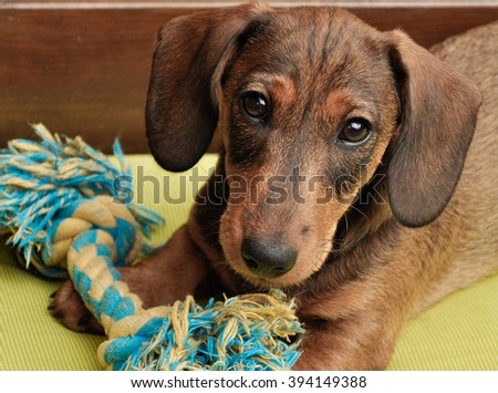 Cute Dachshund puppy - stock photo
