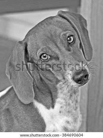 cute dachshund puppy dog looking with blurred background - stock photo