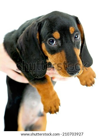 Cute dachshund puppy, isolated on white