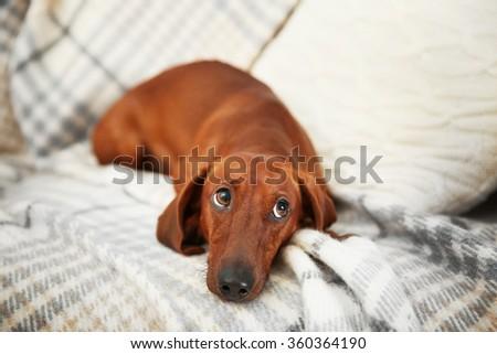 Cute dachshund puppy on plaid background - stock photo