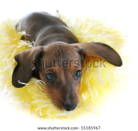 Cute Dachshund Puppy Snuggling Yellow Hat - stock photo