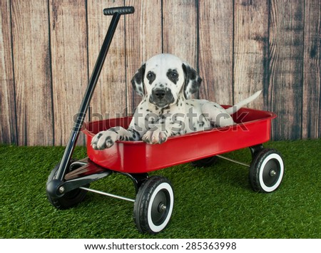 Cute Dalmatian puppy laying in a little red wagon in the grass outdoors, with copy space.