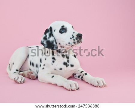 Cute Dalmatian puppy on a pink background looking up with copy space.