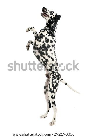 cute dalmatians stand up to two legs in white background photo studio - stock photo