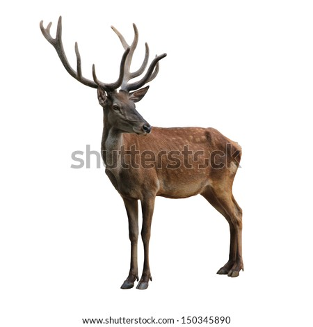Cute deer isolated on white - stock photo