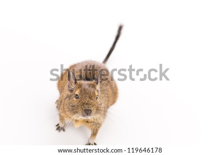 Cute Degu on white
