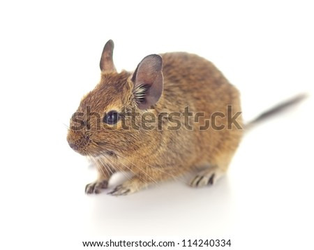 Cute Degu on white background