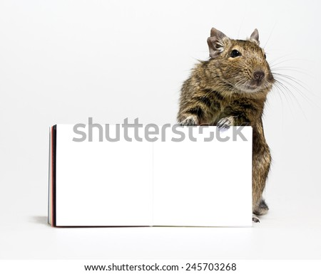 cute degu rodent pet standing with blank poster in paws closeup on white background - stock photo