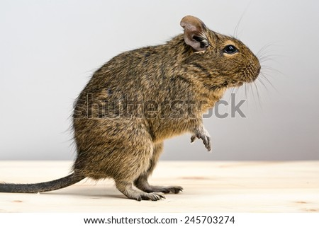 cute degu rodent standing in profile closeup view - stock photo