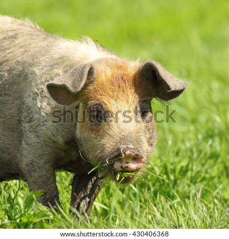 cute dirty pig portrait, image of grazing animal near the bio farm - stock photo
