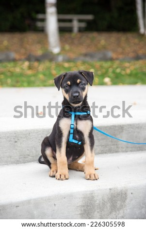 Cute Doberman Puppy Outside in Park Sitting on Steps - stock photo