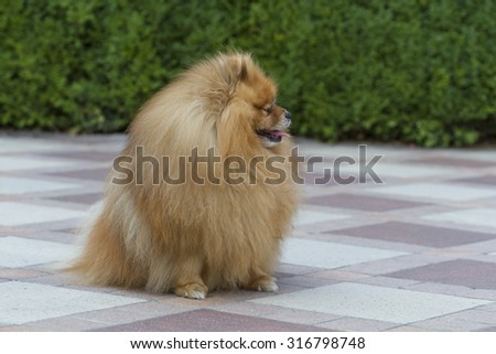 Cute dog breed Pomeranian in the yard. - stock photo