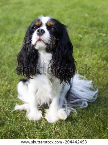 cute dog cavalier spaniel looking with love at his owner