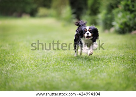 cute dog, cavalier spaniel running on the grass