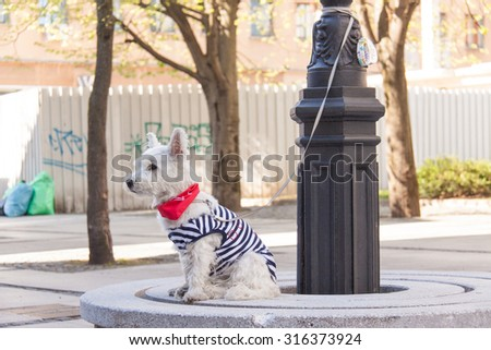 Cute dog dressed up for a walk. - stock photo