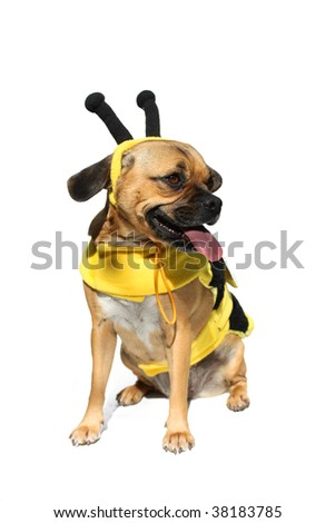 Cute dog in bumblebee costume - stock photo