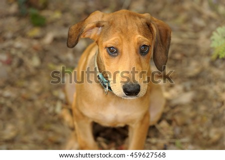 Cute dog is a sweet adorable puppy looking up with his ear flopping to one side and his big brown beautiful eyes full of wonder. - stock photo