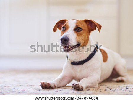 Cute dog jack russel terrier laying in the kitchen floor on carpet. - stock photo