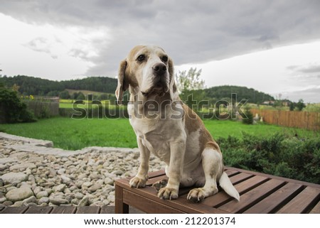 Cute dog labrador waiting patiently for his master  - stock photo
