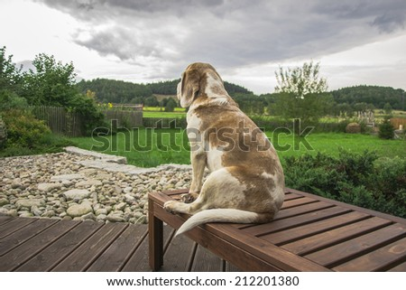 Cute dog labrador waiting patiently for his master and looking to the beautiful view green grass background   - stock photo