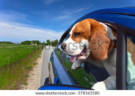 Cute dog looks out the open window - stock photo