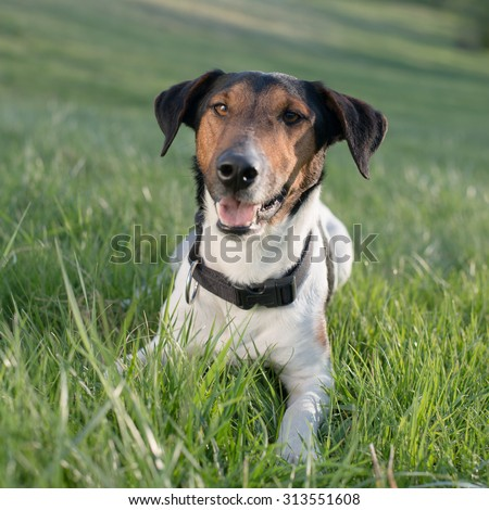 Cute dog lying in grass outdoor, looking at camera and tongue out
