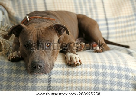 Cute dog lying on sofa, on home interior background - stock photo