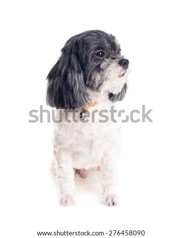 Cute dog on white background. - stock photo