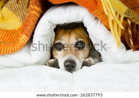 Cute dog peeking out from under the soft warm blanket. Luxuriate in bed. Hiding from the cold