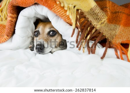 Cute dog peeking out from under the soft warm blanket. Luxuriate in bed. Hiding from the cold - stock photo