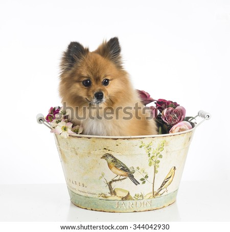 Cute dog Pomeranian standing inside a decorated metal bucket on a white background - stock photo