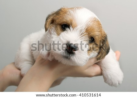 Cute dog puppy in human hands looking at camera. Small young pet. Best friends. Animals and people - stock photo
