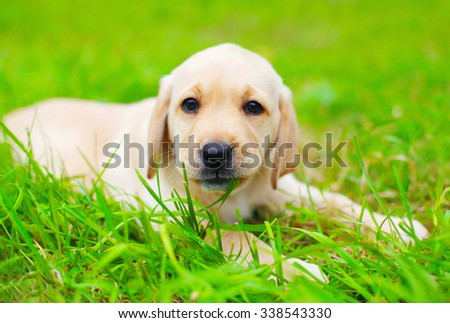 Cute dog puppy Labrador Retriever bites the grass - stock photo