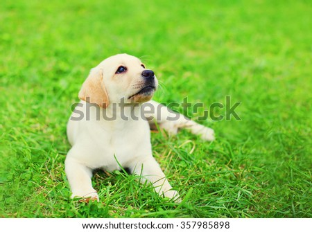 Cute dog puppy Labrador Retriever lying resting on grass in summer day, looking up - stock photo