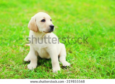 Cute dog puppy Labrador Retriever sitting on green grass in profile and looking away - stock photo