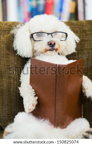 Cute Dog Reading Book at Home on Couch with Glasses - stock photo