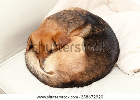 Cute dog resting on the couch - stock photo