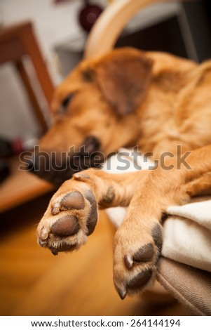 Cute dog resting on the sofa - shallow DOF, focus on his legs, soft vignetting effect applied - stock photo