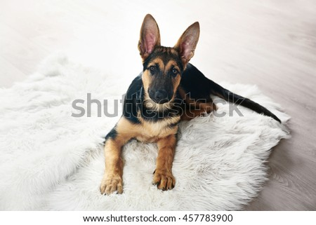 Cute dog shepherd on carpet - stock photo