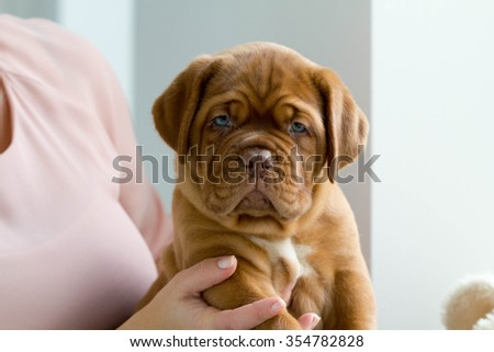 Cute dogue de bordeaux puppy sitting in a girl's hand and looking into the camera. - stock photo