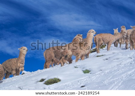 Cute domestic alpacas on snow in high altitudes in peruvian Andes, south America - stock photo